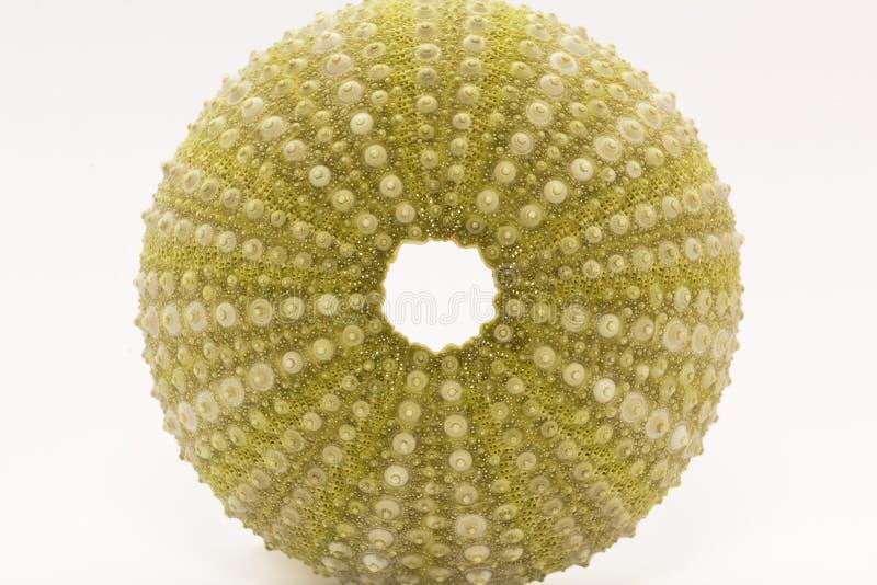 Skelett von Seeoberteil-Grün echinoidea lokalisiert auf weißem Hintergrundmakro lizenzfreies stockfoto