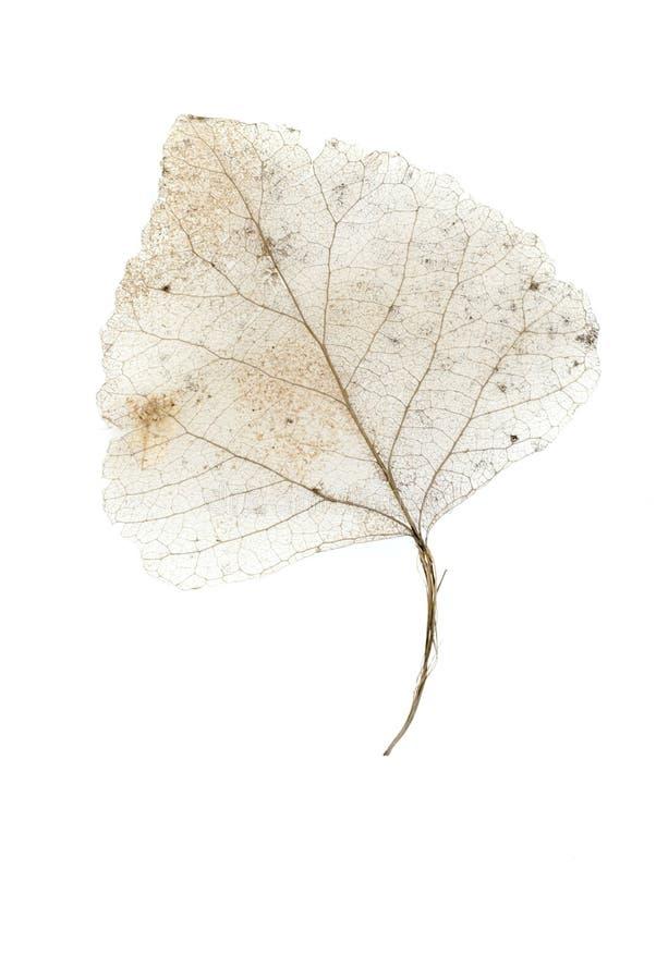skelett- white för 2 leaf fotografering för bildbyråer