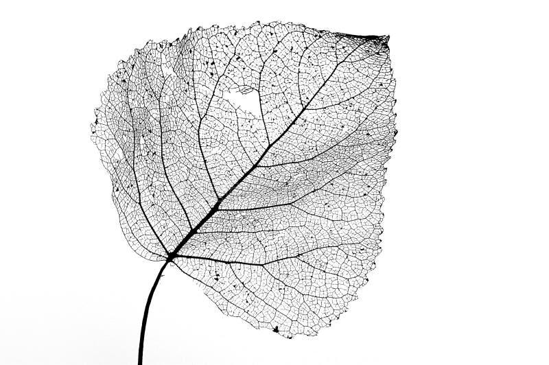 skelett- white för svart leaf royaltyfri bild