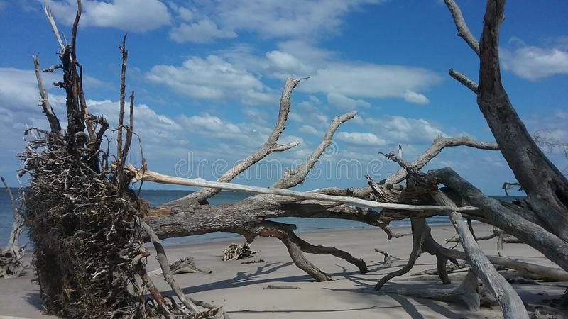 Skelettartige Bäume auf Strand stockfotografie