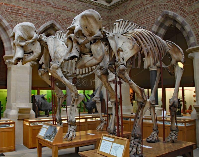 Skelette von zwei alten Elefanten am Naturgeschichtemuseum Oxfords lizenzfreies stockfoto