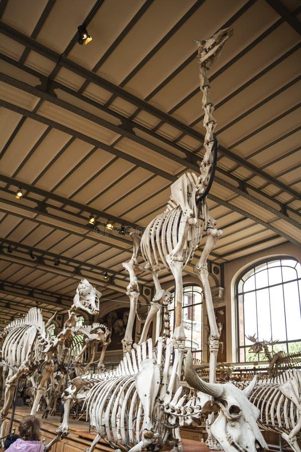 Skeletten in paleonthologygalerij in de biologiemuseum van Parijs, Frankrijk royalty-vrije stock foto's