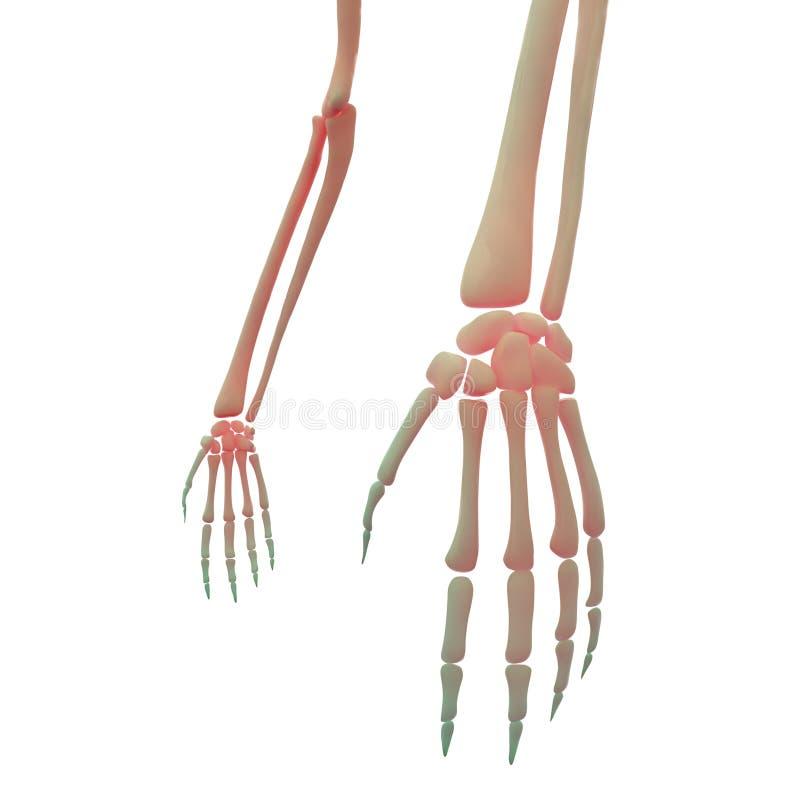 Skeletthand-und Finger-Gelenke Stock Abbildung - Illustration von ...