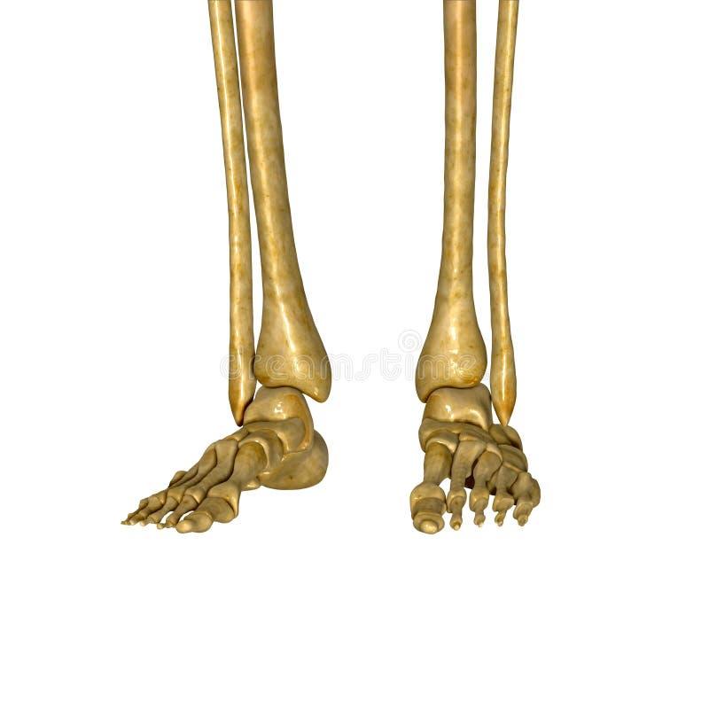 Skeletvoeten vector illustratie