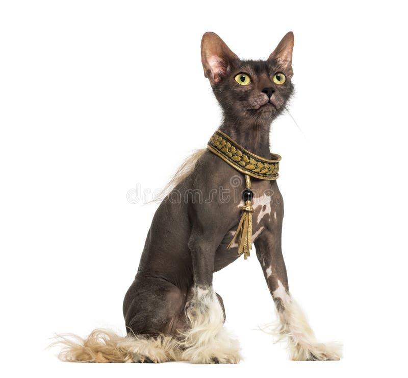 Skenbilden med en kines krönade hunden med huvudet av en Lykoi katt arkivfoton