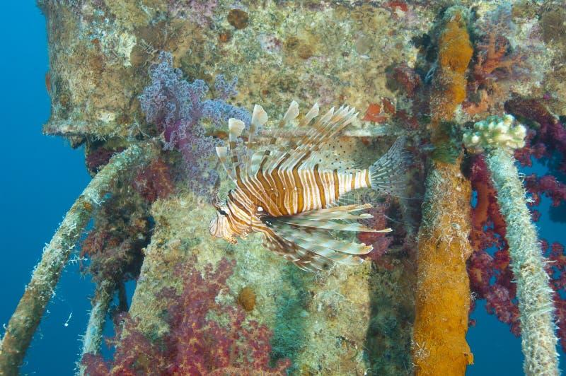 skeppsbrott för rött hav för lionfish arkivbilder