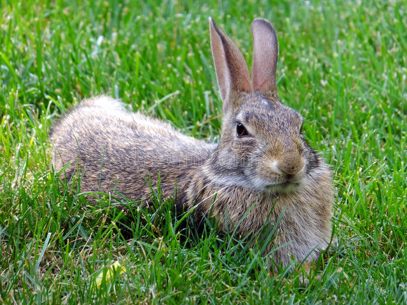 Skepticism. Wild rabbit relaxing in the grass keeping a skeptical eye on things stock photo