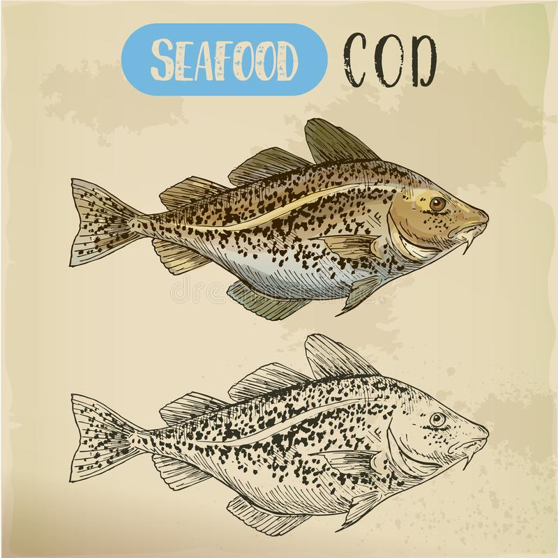 Sketch of atlantic or pacific cod, fish or seafood. Atlantic or Pacific cod sketch. Hand drawn Alaska pollock. Signboard for seafood market or restaurant menu vector illustration