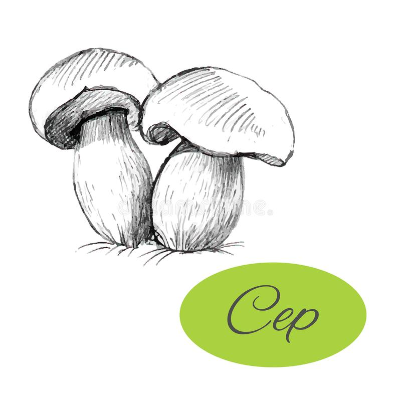 Cep Hand Drawn. Sketch of cep. Black hand drawn mushrooms on white background. Vector illustration vector illustration