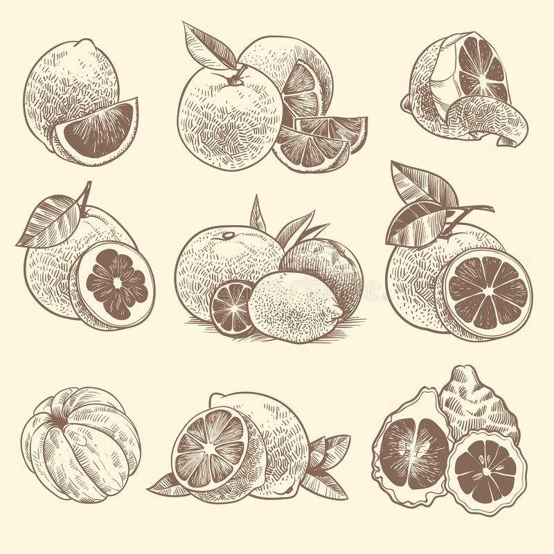 Sketch citrus. Oranges, lemons and grapefruit, lime. Citrus fruits and flower with leaves. Hand drawn vintage botanical. Engraved tropical fresh fruit vector royalty free illustration