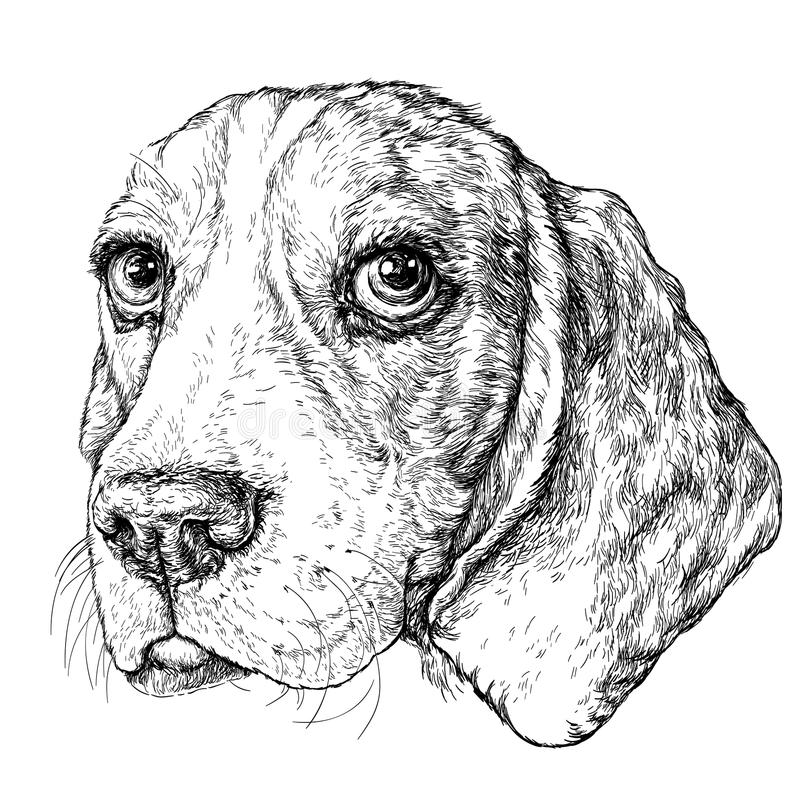 Sketch of cute Beagle Dog. Vector Illustration. Isolated on white background stock illustration