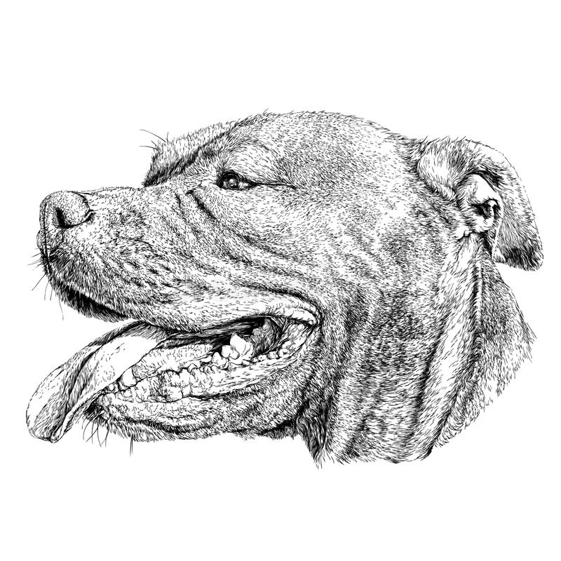 Sketch of Dog Pit bull terrier. stock illustration