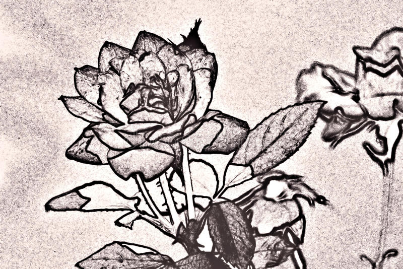 Sketch effect of a rose royalty free stock image
