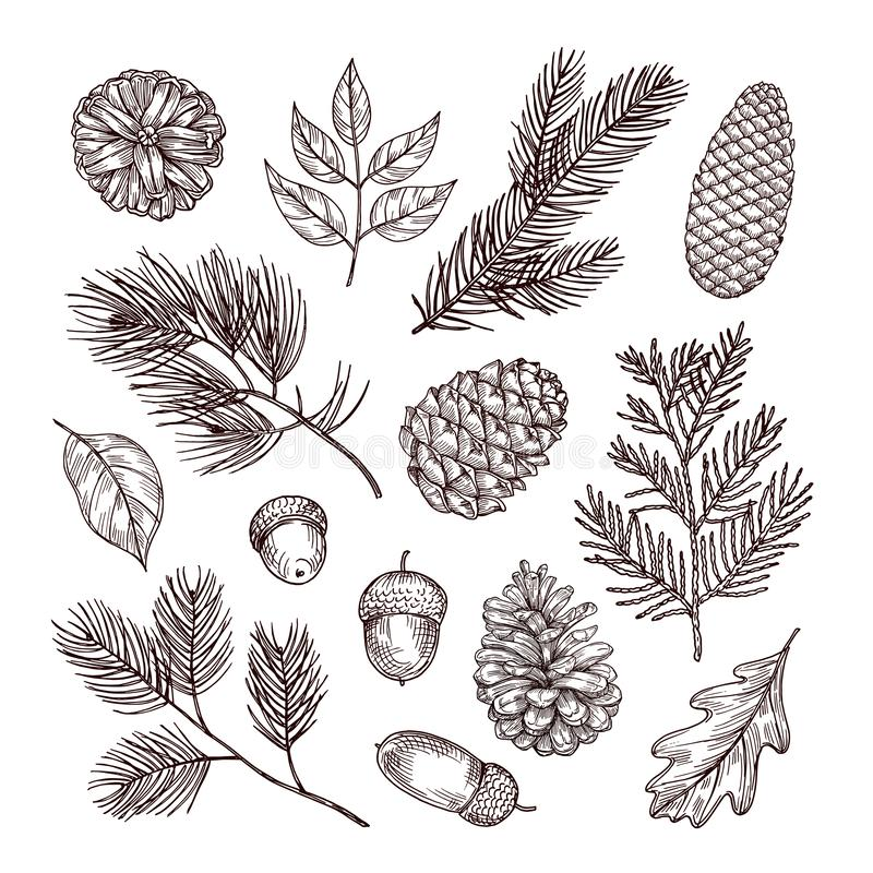 Sketch fir branches. Acorns and pine cones. Christmas, winter and autumn forest elements. Hand drawn vintage vector stock illustration