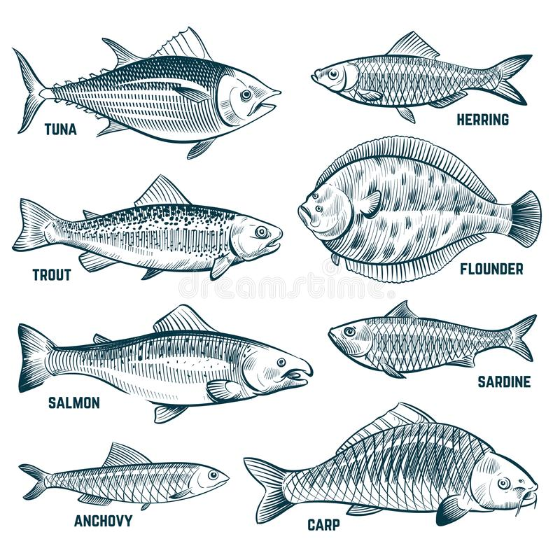 Sketch fishes. Trout and carp, tuna and herring, flounder and anchovy. Hand drawn commercial fish vector set. Seafood fish, sea food, ocean sketch animal vector illustration