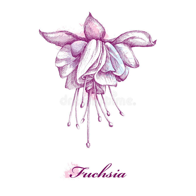 Sketch Of Fuchsia Flower Isolated On White Background With Blots In Pastel Colors. Stock Vector ...