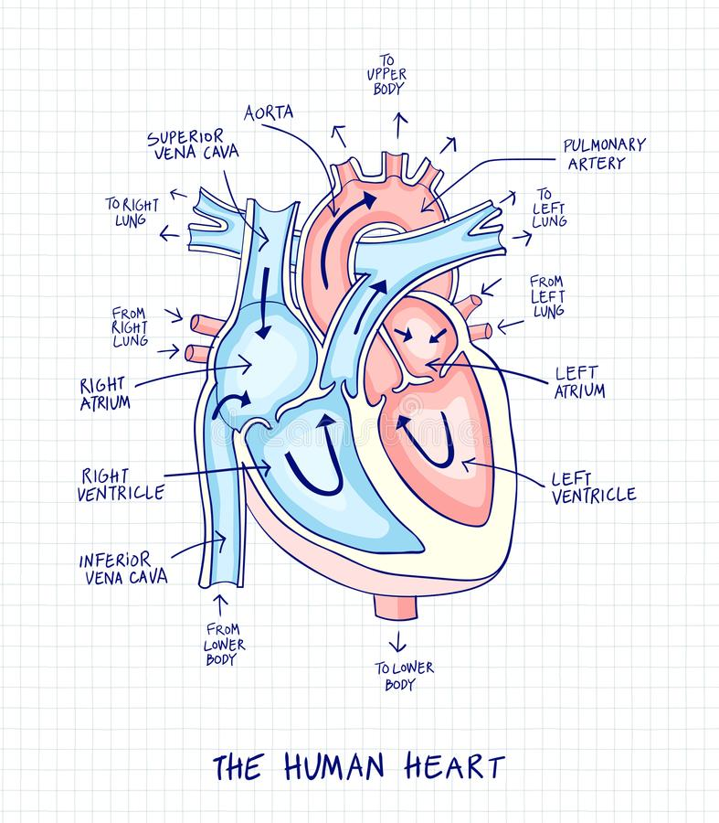 Sketch of human heart anatomy ,line and color on a checkered background. Educational diagram with hand written labels of the main vector illustration