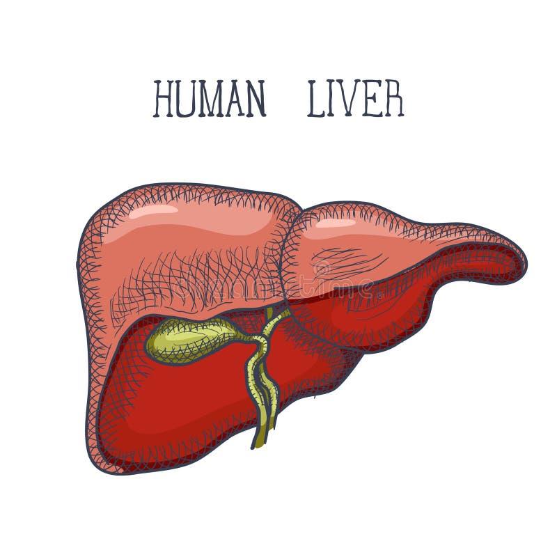 Sketch Ink Human liver, hand drawn, doodle style, Engraved Anatomical illustration. Vector royalty free illustration