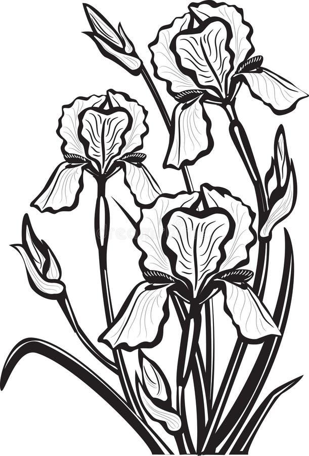 Sketch of iris flowers. Vector illustration royalty free illustration