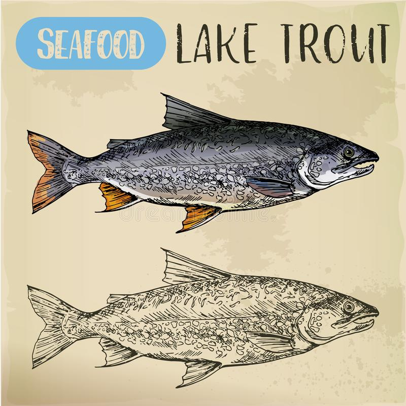 Lake or white trout sketch. Sea or ocean fish. Sketch of lake or white trout. Sea or ocean, river salmonid fish. Store or shop, market, sport fishing trophy royalty free illustration