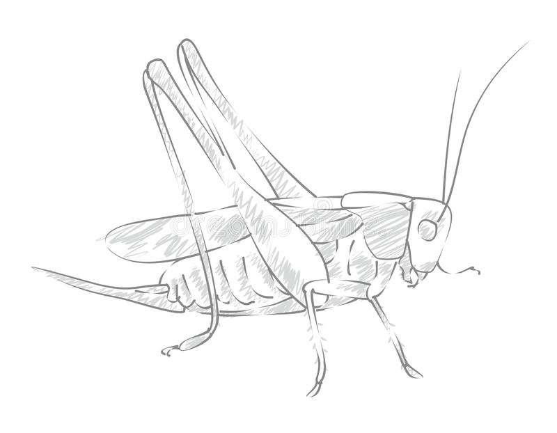 Sketch large locust. royalty free illustration