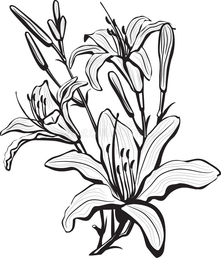 Sketch of lily flowers royalty free illustration