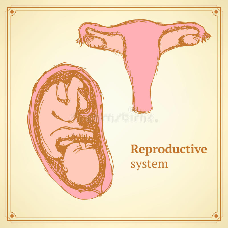 Sketch Reproductive System In Vintage Style Stock Illustration