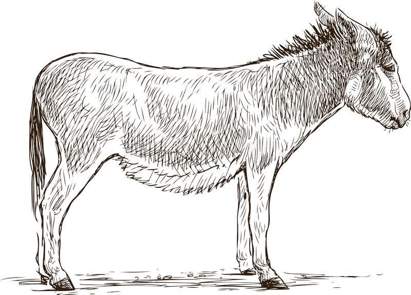 Sketch of a small standing donkey vector illustration