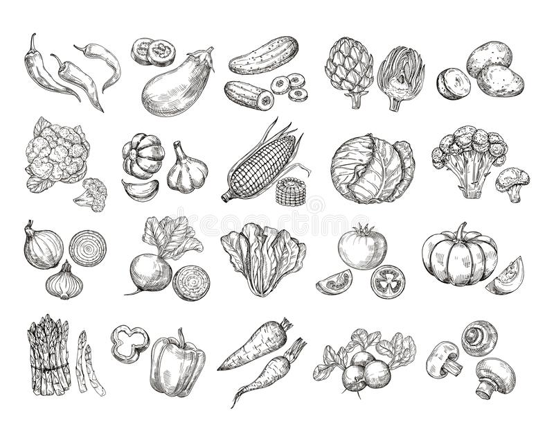 Sketch vegetables. Vintage hand drawn garden vegetable collection. Carrots broccoli potato salad mushroom farming vector royalty free illustration