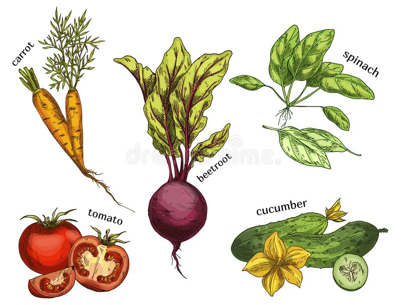 Sketches for carrot and tomato, cucumber, beetroot. Sketches of organic and natural vegetables. Set of isolated carrot and tomato, sliced cucumber and beetroot vector illustration