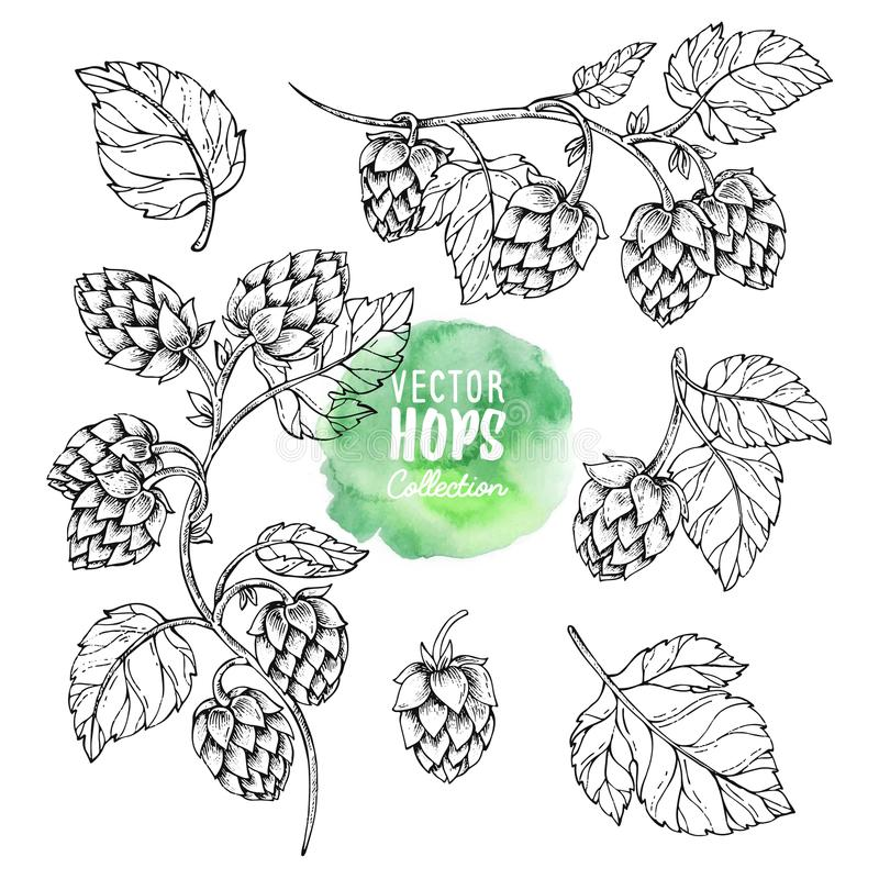 Sketches of hop plant. Hops vector set. Humulus lupulus illustration for packing, pattern, beer illustration. Hop on a branch with leaves in engraving style royalty free illustration