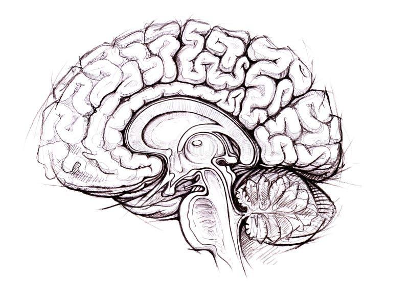 Skethy Studie des Bleistifts des menschlichen Gehirns stock abbildung