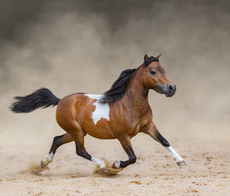 Skewbald American Miniature Horse running in dust. royalty free stock photo