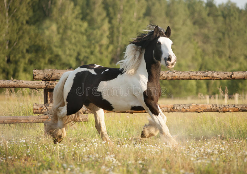 Skewbald gypsy vanner horse gallops in pasture stock images