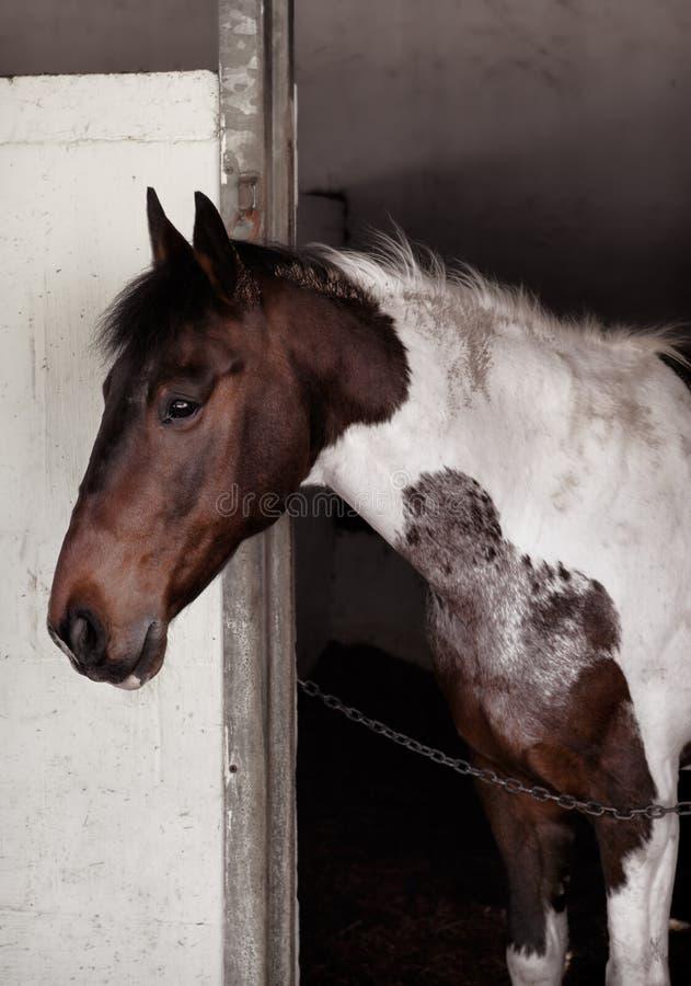 Skewbald koń wśrodku stajenki zdjęcia royalty free