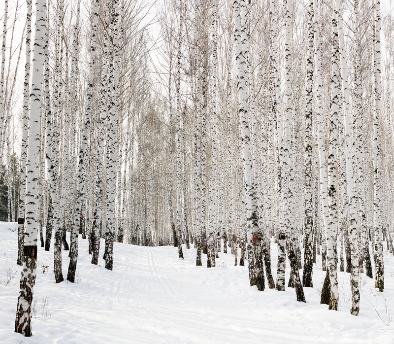 Ski run. In a winter birch forest stock image