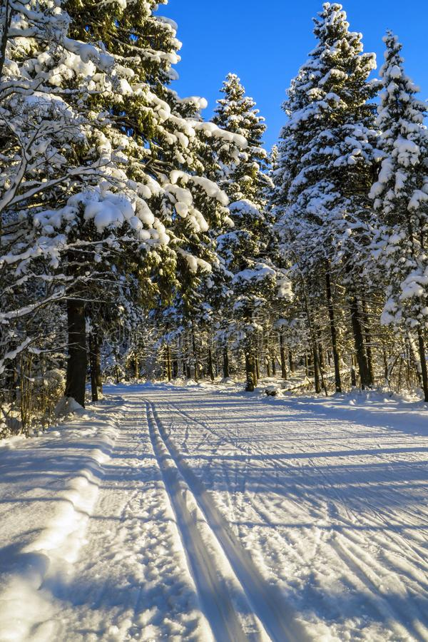 Ski run in wild pine forest stock photo