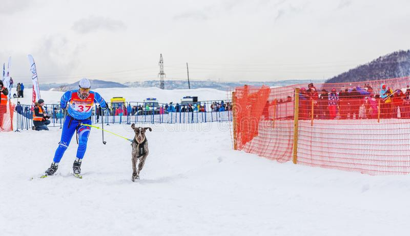 Skijoring - competition on Kamchatka on holiday stock image