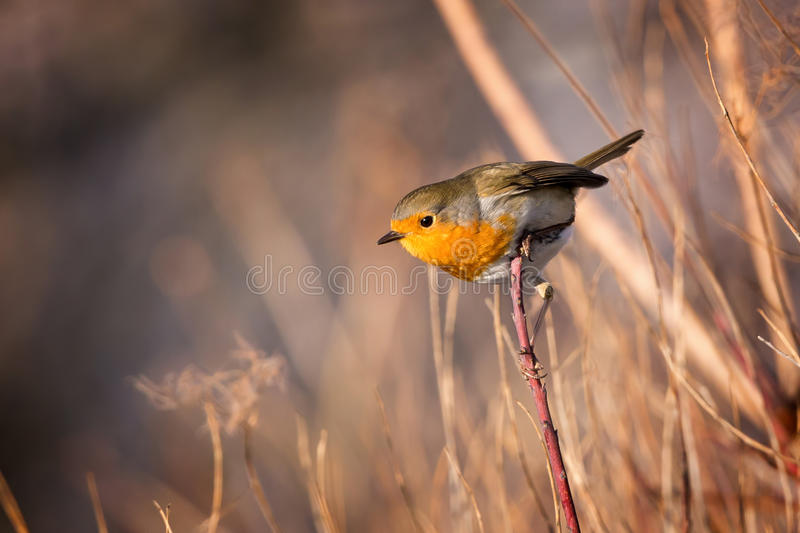 Skillful robin bird on the branch royalty free stock image