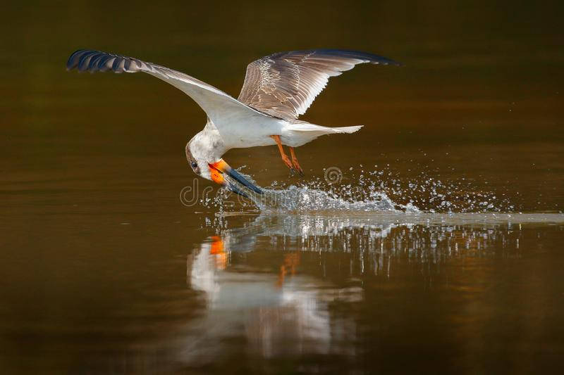 Skimmer drink water. Black skimmer fly, in river, Rio Negro, Pantanal, Brazil. Skimmer drinking water with open wings. Wildlife sc stock photography