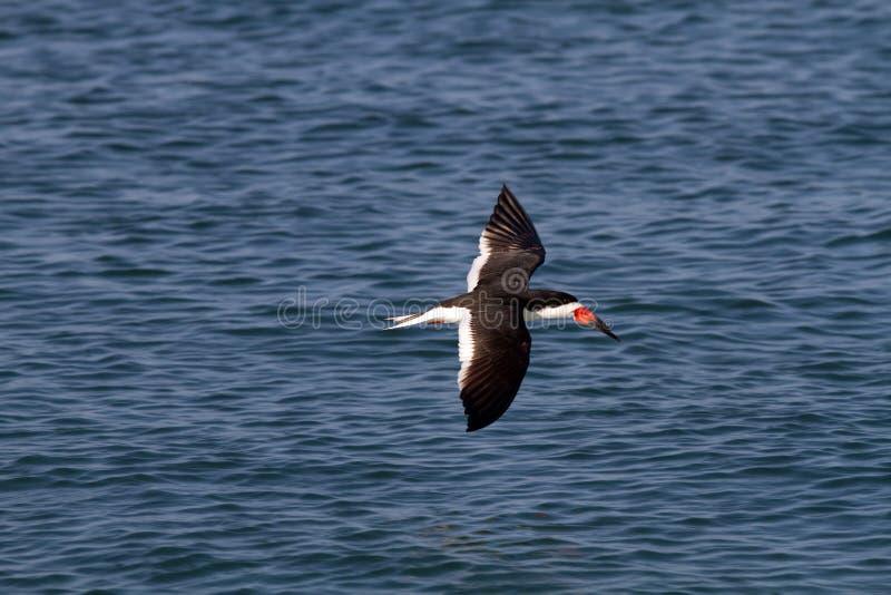 Download Skimmer In Flight stock image. Image of terns, ocean - 25983179