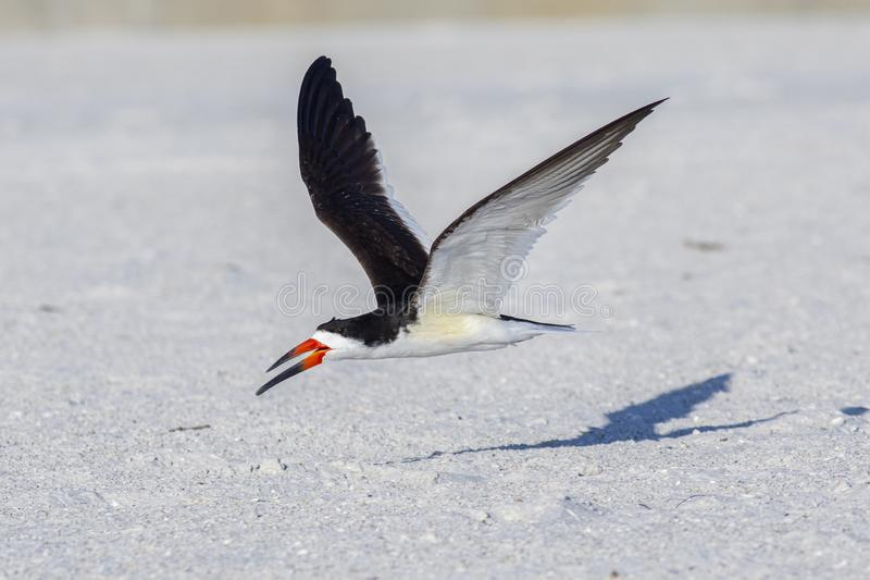 Skimmer Flying Low, Wings Spread Out royalty free stock images
