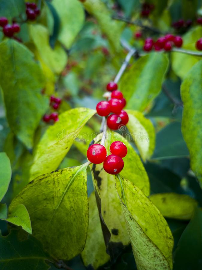 Skimmia japonica'塞西莉亚布朗'日本Skimmia红色莓果  免版税库存照片