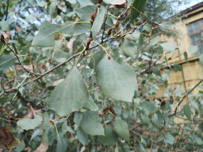 Skimmia japonica'塞西莉亚布朗'日本Skimmia红色莓果  图库摄影