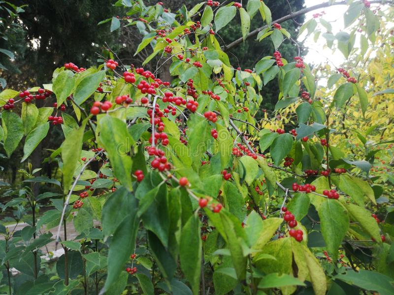 Skimmia japonica'塞西莉亚布朗'日本Skimmia红色莓果  库存图片