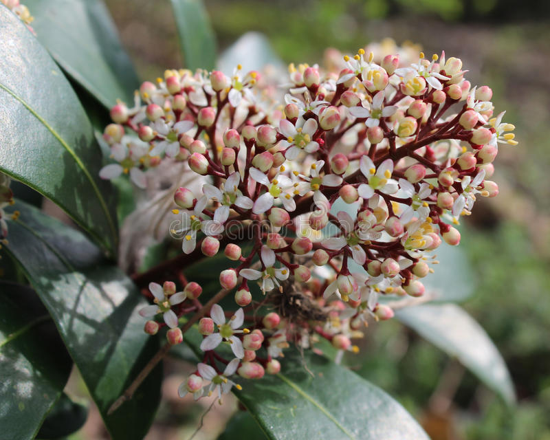 Skimmia japonica in bloom stock photo image of close 89199824 the pretty white flowers of of skimmia japonica also known as japanese skimmia a spring flowering evergreen shrub mightylinksfo
