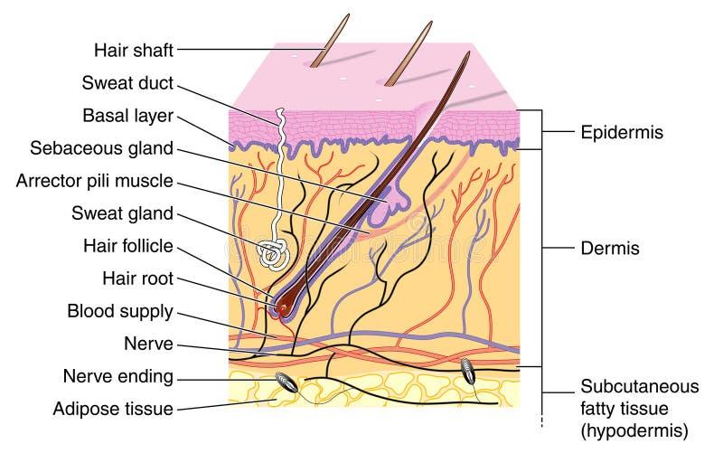 Download Skin stock vector. Image of dermis, receptor, germinum - 13136265
