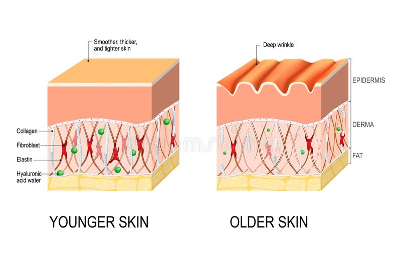 Skin aging. difference between the skin of a young and elderly p royalty free illustration