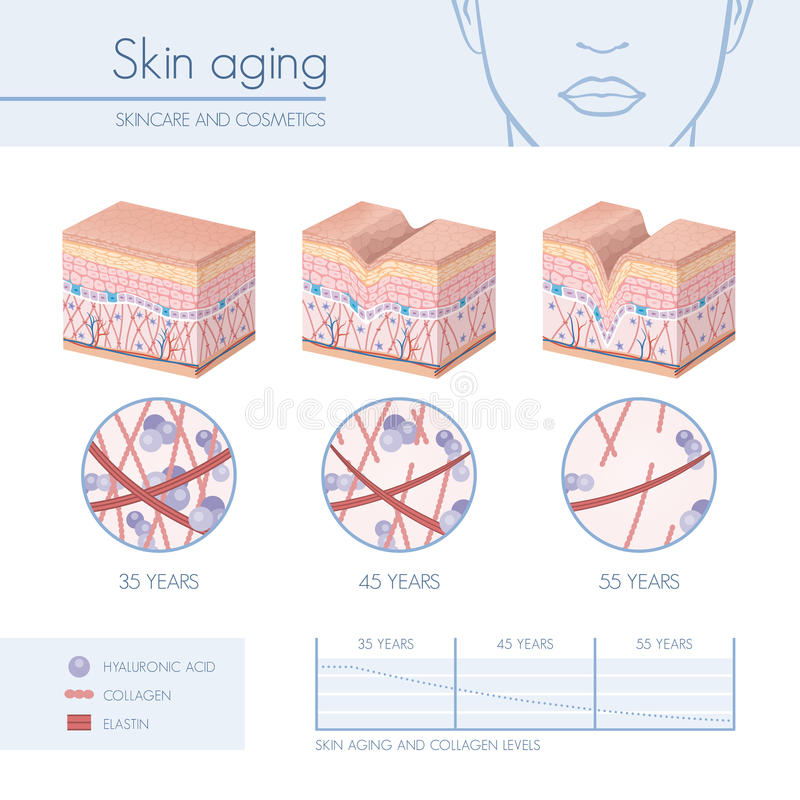 Skin aging. Stages diagrams, collagen and elastin progessive decrease close up, skincare infographics