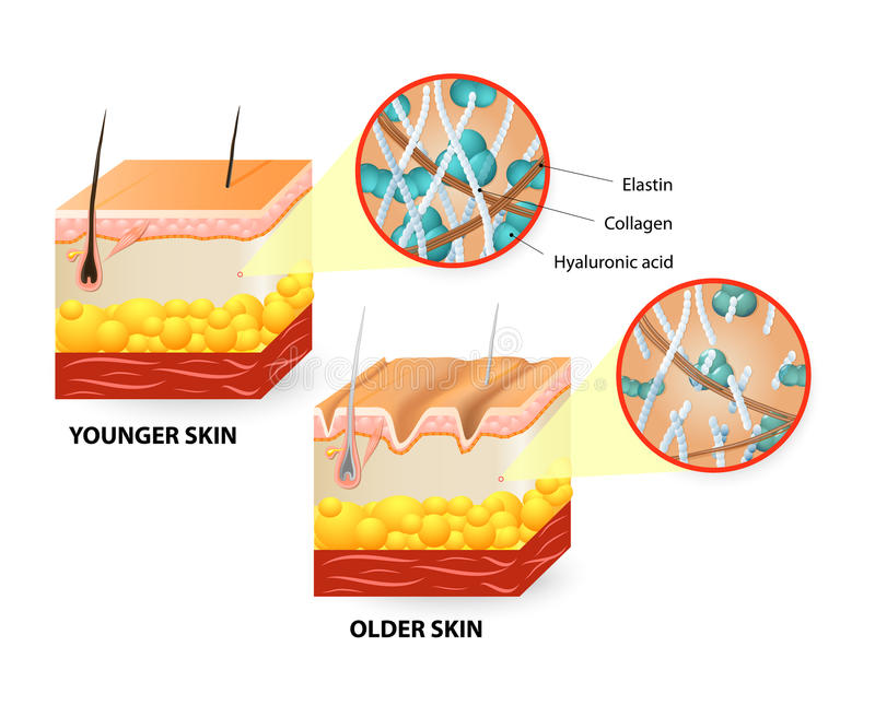 Skin aging. Visual representation of skin changes over a lifetime